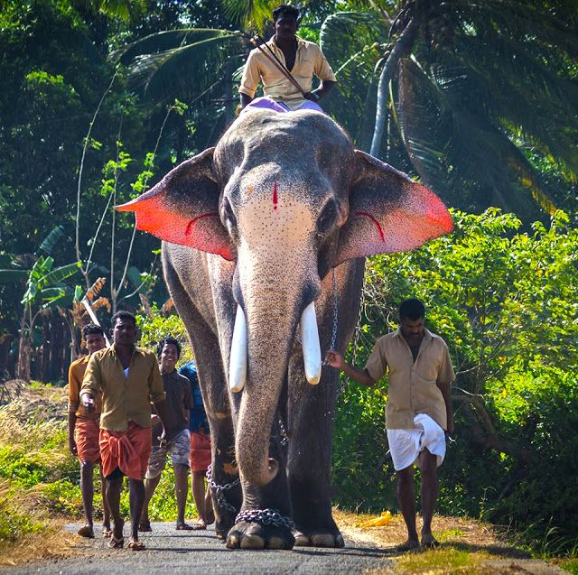 Thechikottukavu Ramachandran Biggest Elephant